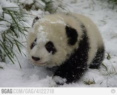Ayy nuooo cold panda is cold :(