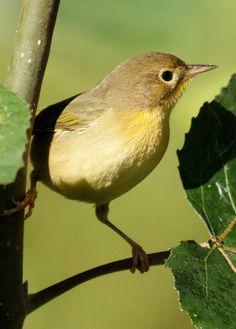 Common Yellowthroat, via Flickr.