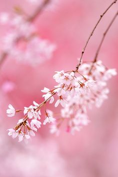 Pink Cherry Blossom Flowers On Flowering Tree Branch Blooming Sakura Cherry Blossom, Pink Blossom, Cherry Blossoms, Pretty In Pink, Beautiful Flowers, Exotic Flowers, Small Flowers, Purple Flowers, Tout Rose