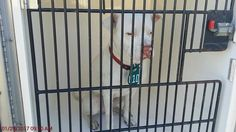 01/30/17-HOUSTON - SUPER URGENT -FROSTY - ID#A476678 My name is FROSTY I am a neutered male, white Boxer mix. The shelter staff think I am about 1 year and 6 months old. I have been at the shelter since Jan 29, 2017. This information was refreshed 49 minutes ago and may not represent all of the animals at the Harris County Public Health and Environmental Services.
