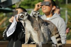 The Annular Solar Eclipse. Ring-tailed lemurs look on as children view a solar eclipse at the Japan Monkey Centre in central Japan. A staff in the centre said that they kept jumping during the eclipse since they thought it was sunset.