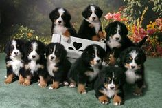 Bernese Mountain Dog puppers