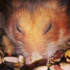 #missmarple #missy #hamsterdam #hamstersofinstagram #sleepeating #missythehamster Miss Marple, Instagram Posts, Animals, Animales, Animaux, Animal, Animais