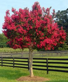Lovely Tonto Crepe Myrtle Tree for garden or landscape. Small Trees, Plants, Crepe Myrtle, Shade Trees, Crape Myrtle, Fast Growing Trees, Growing Tree, Tree, Myrtle Tree