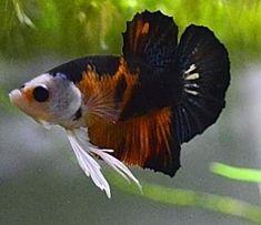 Planted Aquarium, Aquarium Fish, Beta Fish, Siamese Fighting Fish, Aquarium Design, Beautiful Fish, Colorful Fish, Aquariums, Exotic Pets
