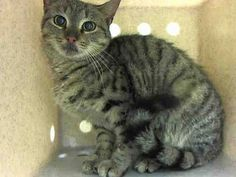 NYC TO BE DESTROYED Sunday 04/19/15 YEAR Old GINGER SNAP seems to not be thriving in this environment and at the time of the assessment she was displaying behaviors that preclude placement in the adoptions room. NH Pledges! ID #A1033285. Female brn tabby. STRAY. I came in with Group/Litter #K15-010182. https://www.facebook.com/nycurgentcats/photos/a.991943497490304.1073742659.220724831278845/991943777490276/?type=3&theater
