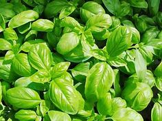 really useful information about growing eleven different herbs.