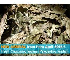 Chacruna (Psychotria viridis) 50 gr