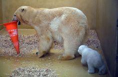 Polar bear cub follows its mother - Carmen Jaspersen/AFP