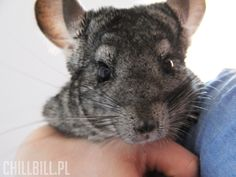 Chinchilla Egon! :)