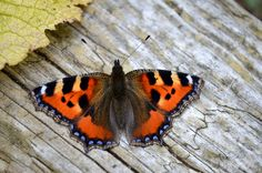 Small Tortoise-shell Butterfly Aglais urticae - Flickr - Photo Sharing!