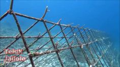 """Coral Transplantation in Jailolo Bay, West Halmahera starting from April / May 2012, using steel triangular frame substrates. A total of 4 units of each module that reads """"Jailolo"""" & """"HAL-BAR"""" installed in divesite NHR 06 (Reef Jojo) and NHR 08 (Tg.Gorango)."""
