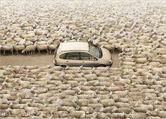 Peter Lippmann #Photography #Sheep