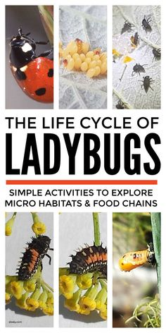 Explore with kids the amazing metamorphosis in the ladybug life cycle plus cool features of the ladybird food chain and micro habitats. Use these activities suitable from preschool and kindergarten to middle school and KS2 to think about the differences in the life cycles of mammals, amphibians and birds as well as insects and to really understand the life process of reproduction. #ladybugactivities #ladybuglifecycle #lifecycles #lifecycleactivities #lifecycleprojects #ladybirds #metamorphosis #