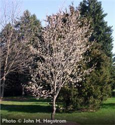 Downy Serviceberry - Amelanchier arborea   15-25' tall  white flowers, red fall foliage, birds like fruit