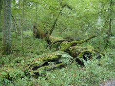 Bialowieza+Primeval+Forest | Bialowieza Forest is home to many species that are extinct elsewhere ...