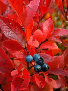 Blueberry bush with red leaves in autumn. Autumn Day, Autumn Leaves, Red Leaves, Winter Trees, Seasons Of The Year, All Nature, Betty Boop, Fall Season, Mother Nature