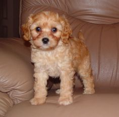 Cavapoo puppy. looks just like a stuffed animal i've had since i was one haha