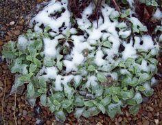 Stachys snow, Jan 21. http://www.mandycanudigit.co.uk/#!herbaceous-perennials/clii