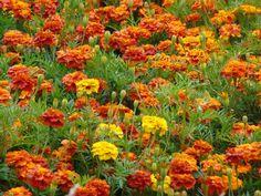 Afrikaantjes (Tagetes), bloem is eetbaar Edible Plants, Edible Garden, Marigold, Growing Vegetables, Plant Care, Permaculture, House Plants, Wild Flowers, Outdoor