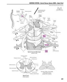 Small Intestine Histology: Simple Columnar Epithelium