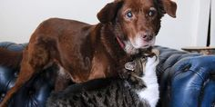 Pwditat the cat helps her friend, Terfel the dog, who has cataracts, find his way around.  A true friend indeed.