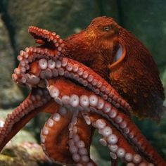 "A giant Pacific octopus is agile and smart, armed with eight sinuous tentacles that are studded with suction cups. Thanks to Charlene Boarts for this beautiful photo!  Learn more about ""Tentacles"" our special exhibition opening this spring."