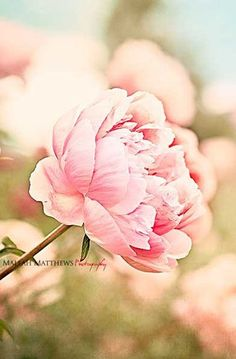 Pink Peony Photography, Floral Art Print