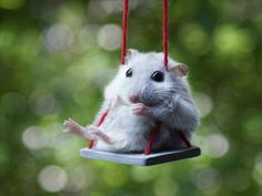 a hampster. on a swing.