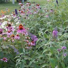 Echinacea, Dark Knight Butterfly Bush, Orange Butterfly Weed, Daisies, Perennial Verbena. Summer Garden. Butterfly Garden. Zone 5-6.