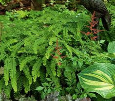 This is one of the most beautiful and elegant of our native Ferns. The 12-20in, bright green, fingered fronds appear on shiny, blue-black stems. A lovely companion for Hostas and Pulmonaria.