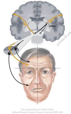 Facial VII - Cranial Nerves Anatomy Head, Nerve Anatomy, Facial Anatomy, Gross Anatomy, Brain Anatomy, Human Anatomy, Biomedical Science, Science Biology, Cranial Nerve 7