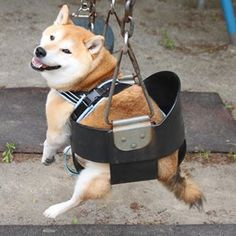Shiba Inu in a swing.