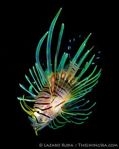 Invasive lion fish in Florida by TheLivingSea.com, via Flickr