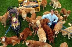 The only thing better than one Golden Retriever is.....a gaggle of goldens!   # Pin++ for Pinterest #