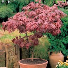 Japanese maples (Acer palmatum) are small, deciduous trees grown for their graceful habit, autumn colour and beautiful foliage which may be coloured or deeply dissected. Potted Trees Patio, Patio Plants, Japanese Garden Plants, Japanese Garden Design, Japanese Maple Garden, Japanese Gardens, Acer Trees, Deciduous Trees, Garden Shrubs