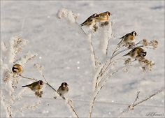 TROUBLING collective noun for  Goldfinches