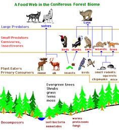 Diagram of food web in coniferous forest