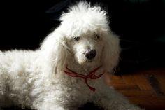white poodle dog. Nana.