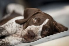German Shorthaired Pointer/ GSP puppy. #germanshorthairedpointerpuppy