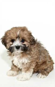 When it is fully grown, this Lhasa apso puppy will have floor-length hair all across its body. This beautiful hair needs frequent grooming. Lhasa apsos come in many colors. Cute Dogs Breeds, Puppy Breeds, Lhasa Apso Puppies, Bichon Frise, Baby Animals, Cute Animals, Dogs And Puppies, Boxer Puppies, Boxer Mix