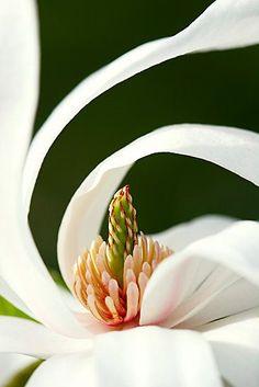 Curled star ~ Star Magnolia l via ohdarlingdankeschoen.tumblr.com