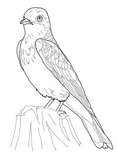 Find This Pin And More On Burgess Bird Book Eastern Kingbird Coloring Page