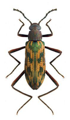 Otocerus multinotatus