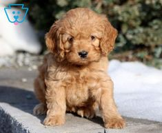 Faith | Cockapoo Puppy For Sale | Keystone Puppies