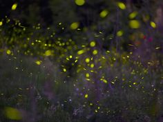 Despite their name, fireflies are actually beetles which use an enzymatic reaction involving a chemical compound called luciferin to produce their typical greenish flashing light