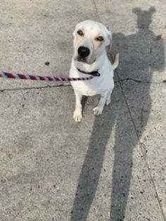 Cheech is an adoptable labrador retriever searching for a forever family near East Greenville, PA. Use Petfinder to find adoptable pets in your area. Animal Adoption, Animal Rescue, Pet Adoption, Foster Mom, Labrador Retriever Mix, Helping The Homeless, Searching, Pets, Animals