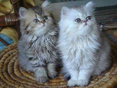 Brother Sister - Cat, Persian, Kitten, Animal, Long Hair, Kitty, Grey, Cute, White, Kitten Persian