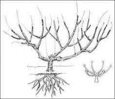Missouri extension fruit growing guide, resistant trees, pruning, etc. Tree Diagram, Tree Pruning, Peach Trees, Tree Care, Realistic Drawings, Beautiful Flowers, Drawing Trees, Raspberries, Fruit