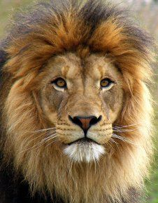 lion photo -- so handsome!